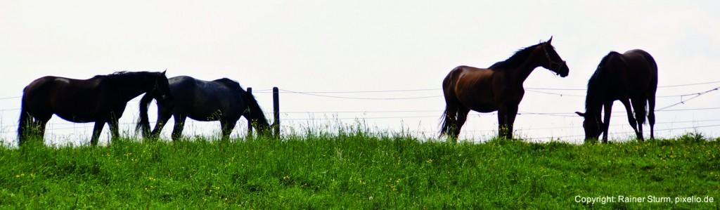 Header-Pferde